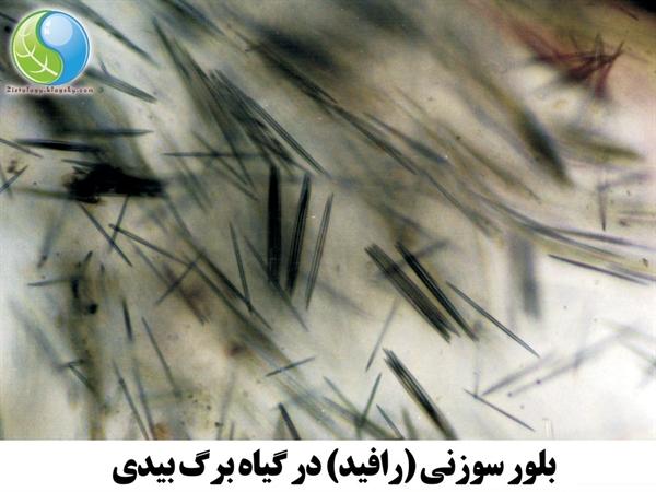 تصویر میکروسکوپی بلور سوزنی در گیاه برگ بیدی
