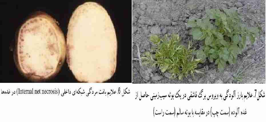علایم خسارت بیماری ( PLRV )( Potato leafroll virus )