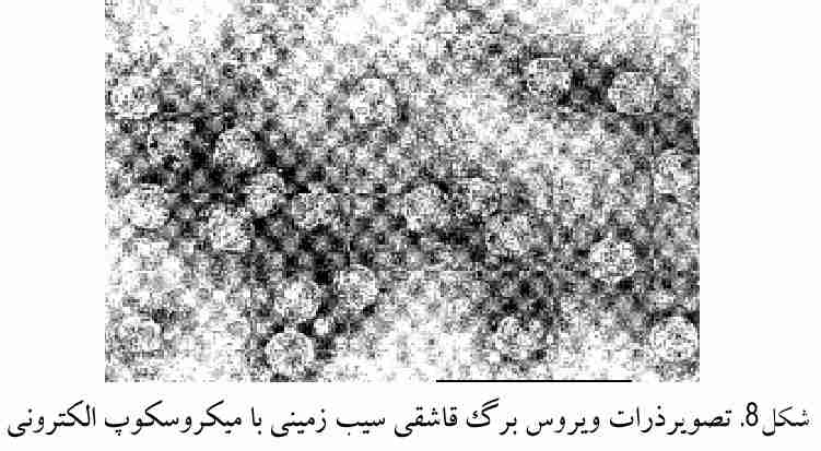 تصویر ذرات ویروس برگ قاشقی سیب زمینی در زیر میکروسکوپ الکترونی