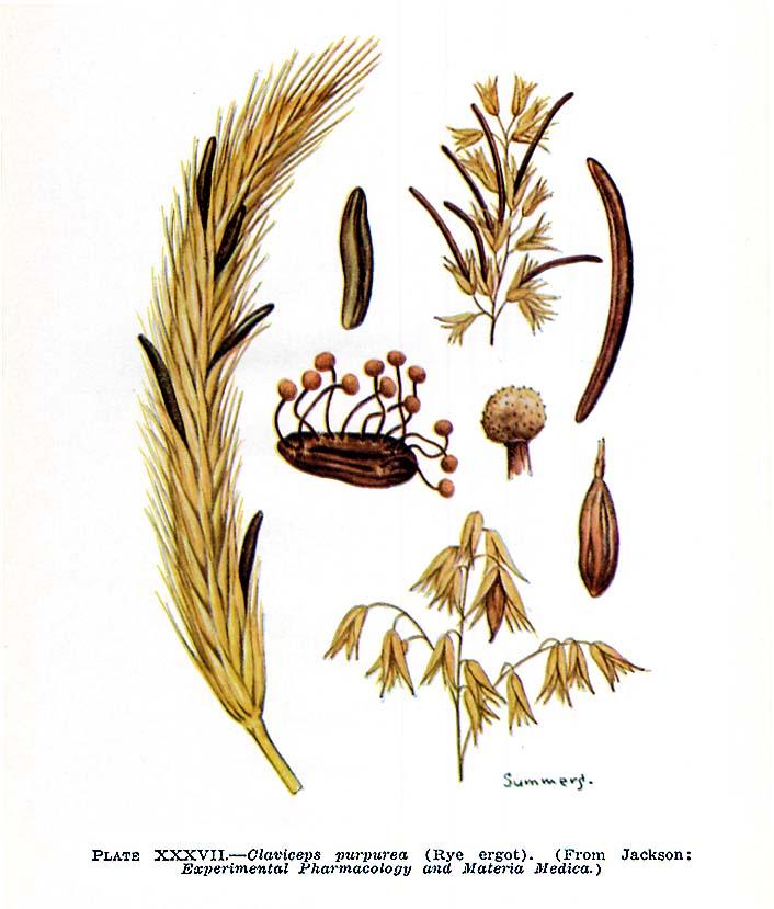 قارچ ارگوت