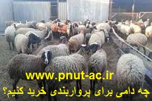نژاد مناسب پروار گوسفند