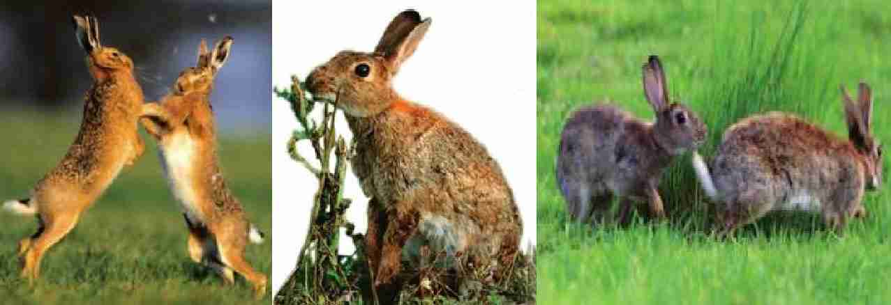 رفتار شناسی خرگوش