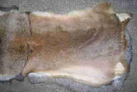 استفاده از پوست خرگوش برای تهیه لباس