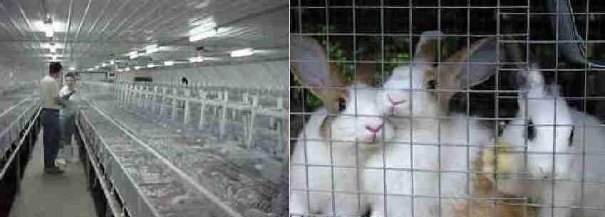 پرورش و تولید خرگوش