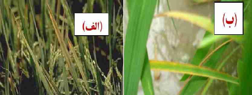 اثر کمبود پتاسیم بر روی برگ برنج