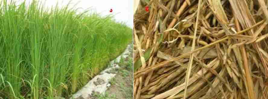 جوانه دار شدن دانه برنج در اثر مصرف بی رویه نتیتروژن