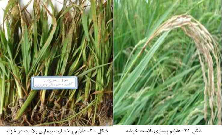 علایم بیماری بلاست برنج