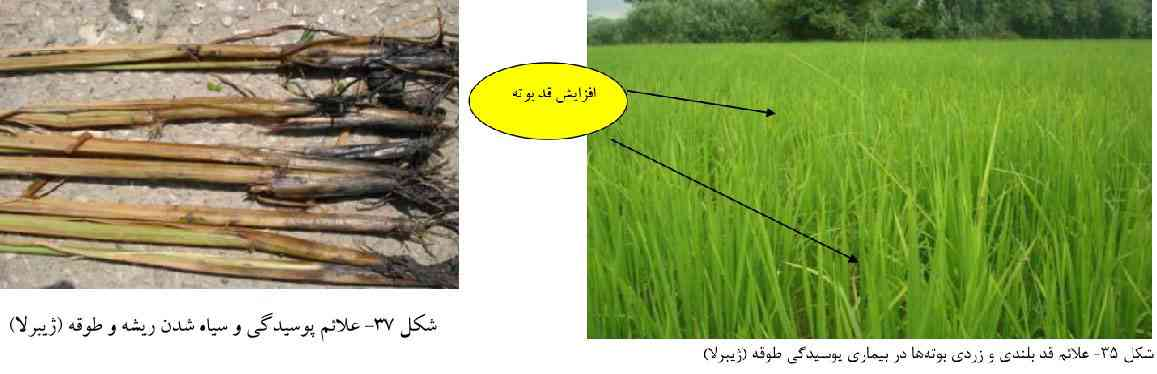 علایم بیماری ژیبرلا فوجیکوری در برنج