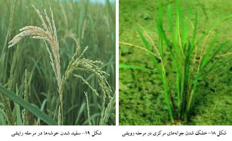 نحوه و میزان خسارت کرم ساقه خوار برنج