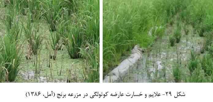 علایم خسارت بیماری کوتولگی بوته برنج