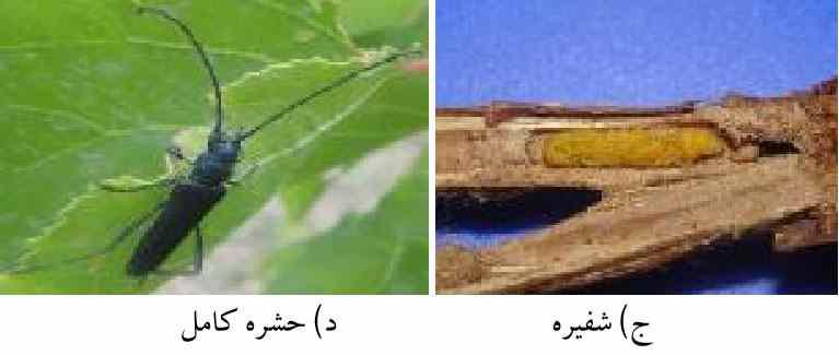 شفیره و حشره کامل سوسک شاخک بلند رزاسه ( سوسک سرشاخه خوار رزاسه )