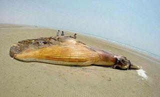 نهنگ ده تني در بندر لنگه | مجله اينترنتي هلو
