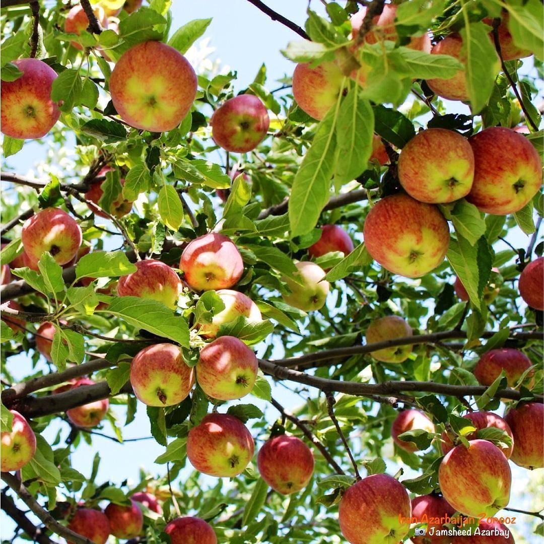 سیب زنوز
