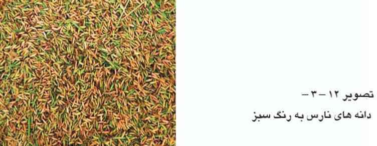 دانه های نارس برنج به رنگ سبز