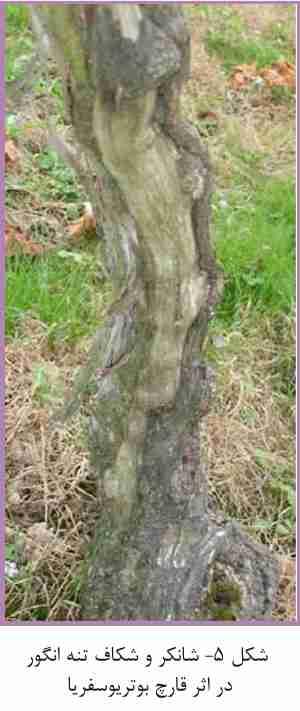 شانکر و شکاف تنه انگور در اثر قارچ بوتریوسفریا