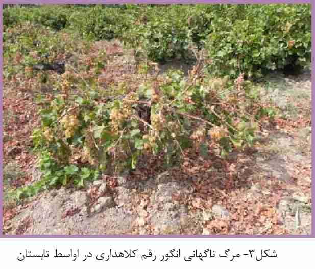 مرگ ناگهانی انگور در اواسط تابستان