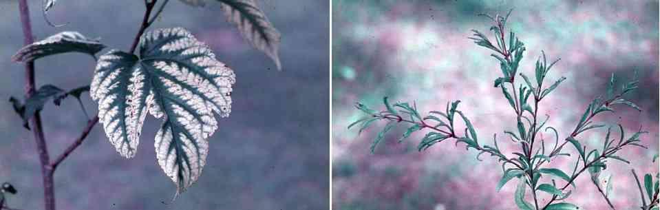 علایم کمبود در درخت انار