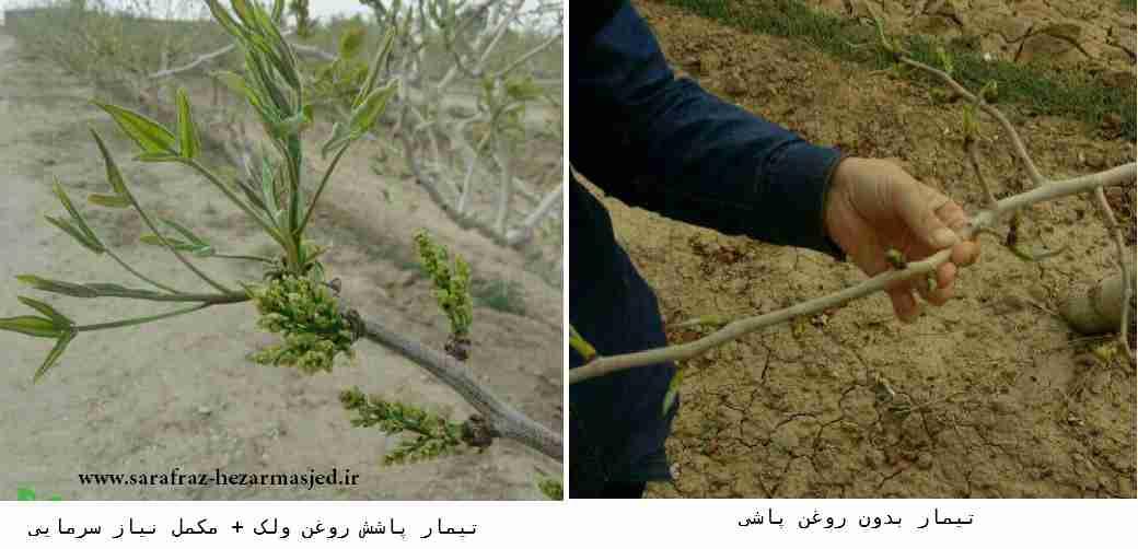 تاثیر مثبت استفاده از روغن ولک در درختان پسته