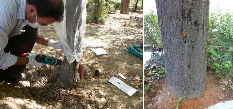آثار خسارت سوسک چوبخوار چنار و روش تزریق سم به داخل تنه درخت چنار
