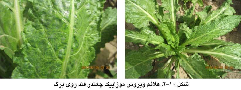 علایم ویروس موزاییک چغندرقند (بیماری موزاییک چغندرقند) روی برگ