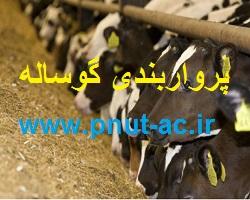 پرواربندی گوساله و جیره مناسب پروار