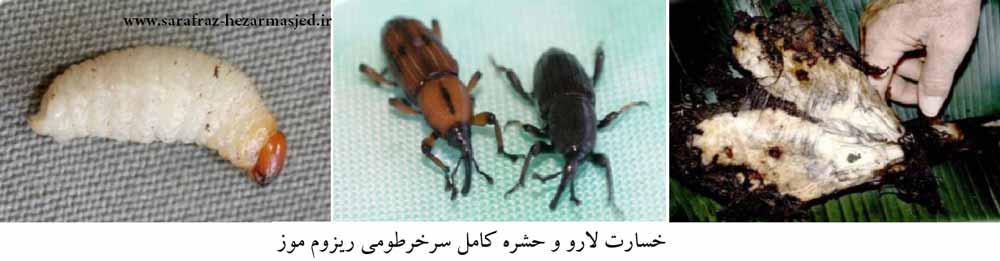 سرخرطومی ریزوم موز (Cosmopolites sordidus (col., Curculionidae