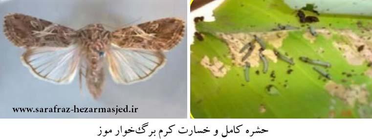 کرم برگخوار (Spodoptera litura (Lep., Noctuidae