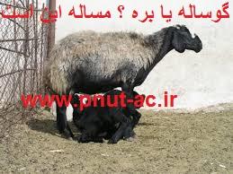 پروار گوساله سودش بیشتره یا گوسفند