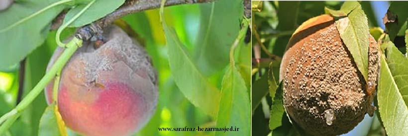 آثار بیماری پوسیدگی قهوه ای درختان میوه