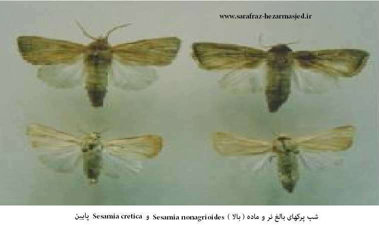 Sesamia nonagrioides و Sesamia cretica