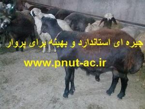 خوراک و جیره برای افزایش وزن بره گوسفند