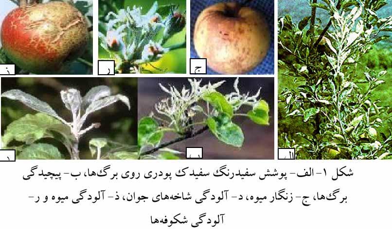 علایم بیماری سفیدک پودری سیب