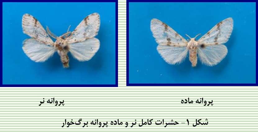 حشرات کامل نر و ماده پروانه برگخوار بنه
