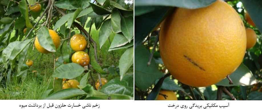 آثار خسارت زخم مکانیکی و خسارت حلزون روی نارنگی