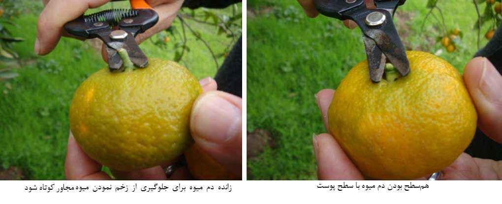روش صحیح برداشت نارنگی