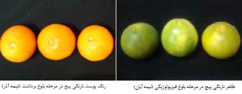 ظاهر نارنگی در مراحل مختلف برداشت