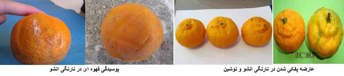 عارضه پوسیدگی قهوه ای در نارنگی و عارضه پفکی شدن در نارنگی