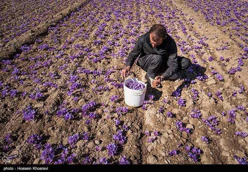 کشت زعفران در استان فارس
