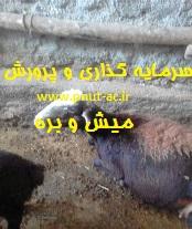 طرح توجیهی پرورش گوسفند نر و ماده در جایگاه