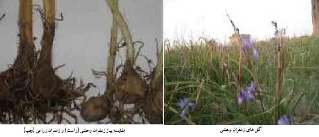 تفاوت پیاز زعفران وحشی و زعفران زراعی