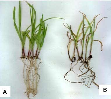 علایم بیماری پوسیدگی بذر و مرگ گیاهچه ذرت