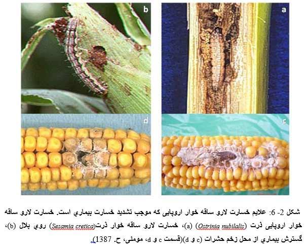 علایم خسارت لارو ساقه خوار اروپایی که موجب تشدید خسارت بیماري است. خسارت لارو ساقه خوار اروپایی ذرت (a) (Ostrinia nubilalis)، خسارت لارو ساقه خوار ذرت((Sesamia cretica روي بلال (b)، گسترش بیماري از محل زخم حشرات c) و )(d