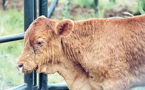 دانلود مقاله در مورد بیماری lumpy skin در گاو دانلود مقاله در مورد بیماری lumpy skin (لامپی اسکین) در گاو و گوساله پاورپوینت ppt