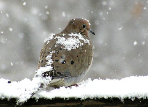 [تصویر:  mourning_dove.jpg]
