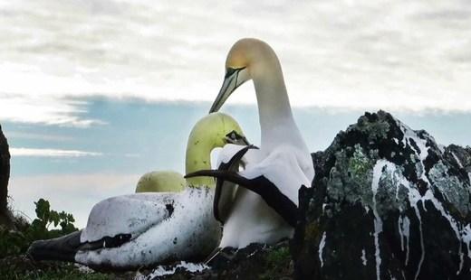 در آرامش بخواب «نایجِل»؛ غمگینترین پرنده جهان