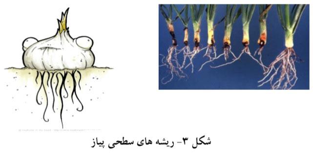 ریشه های سطحی پیاز