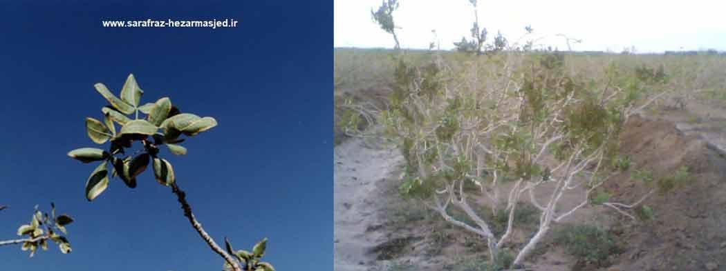 علایم کمبود فسفر در درختان پسته