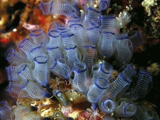 آب دزدک دریایی