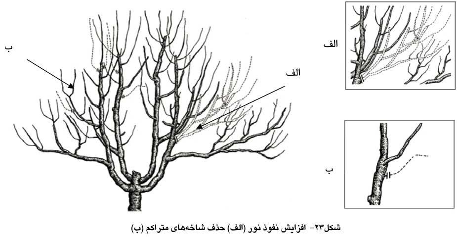 افزایش نفوذ نور و حذف شاخه های متراکم