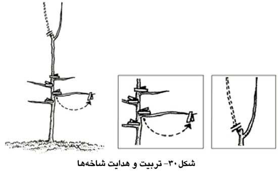 تربیت و هدایت شاخه ها